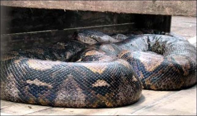 印度尼西亚捕获世界最大蟒蛇