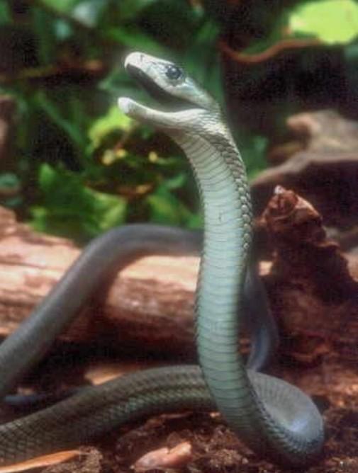 世界上最危险致命的五大毒蛇
