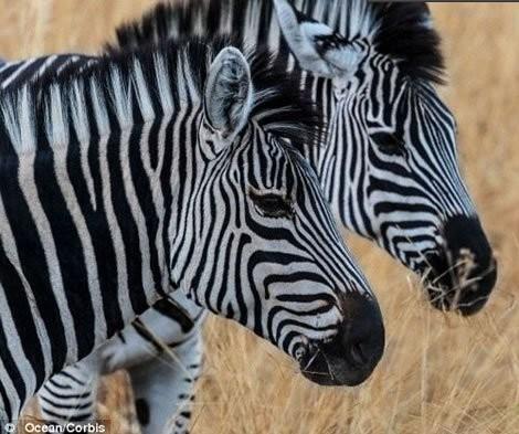 斑马身体上的黑白斑纹的作用-神奇动物-三支脚人才网