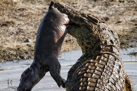 实拍鳄鱼疯狂残杀河马宝宝-神奇动物-三支脚人才网