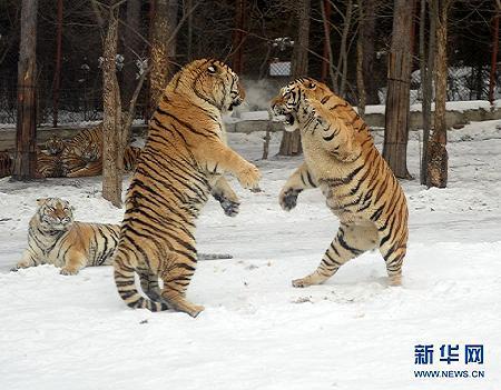 虎林园 内虎啸声 神奇动物