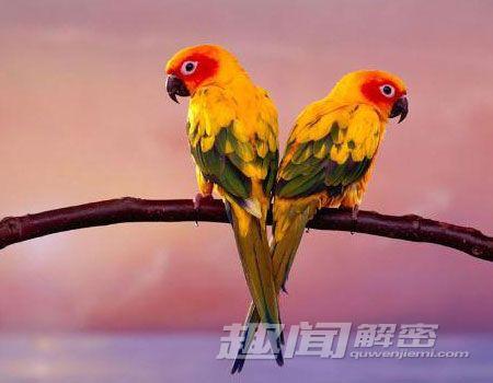 还有一些鹦鹉的声音模仿能力,使领地相邻的邻居能彼此相认,有助于区分