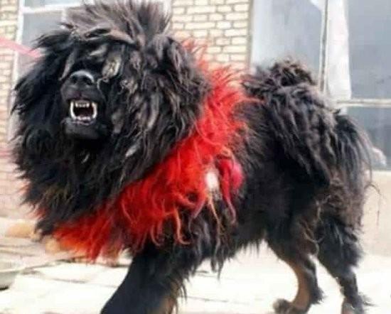 中国最大的藏獒王_世界仅存一只!藏獒之王鬼獒王将灭绝