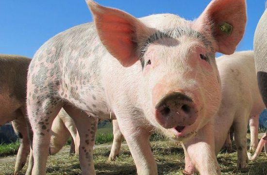 屏幕壁纸可爱猪