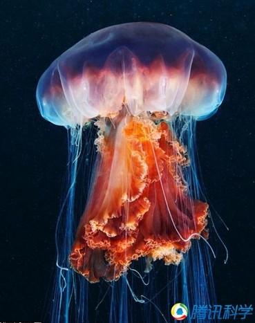 海洋中的美丽精灵 犹如外星来客-神奇动物-三支脚人才