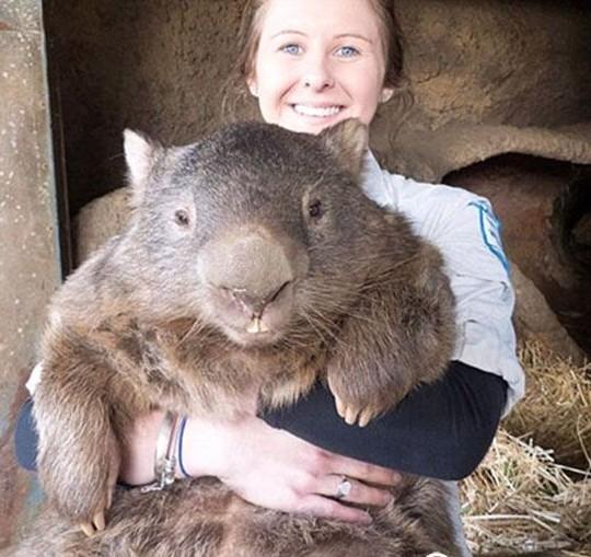 """重大60斤重老鼠 成世界最大的""""袋熊"""""""