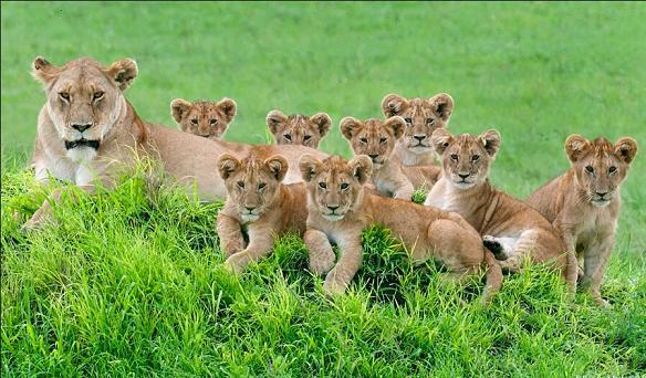 狮子一家11口罕见同框拍超萌全家福-神奇动物-三支脚
